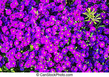 Background of purple petunia flowers