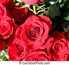 red roses symbol of love and passion