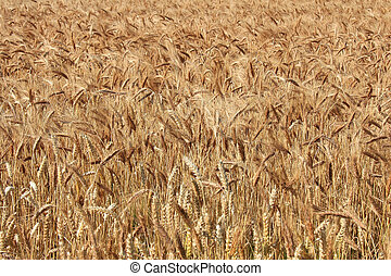 Background of Ripe Barley - Background of ripe barley field.