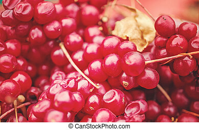 Background of ripe berries of Chinese lemongrass schisandra chinensis harvested from vines. Medicinal red berries. Close up. Selective focus.