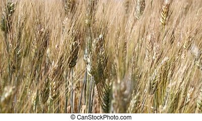 Background of ripe wheat field in the wind