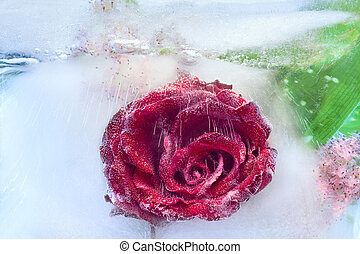 Background of rosa flower frozen in ice - rosa of Flower...