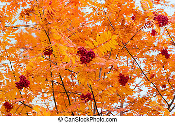 Background of rowan branches with autumn leaves and ripe beries