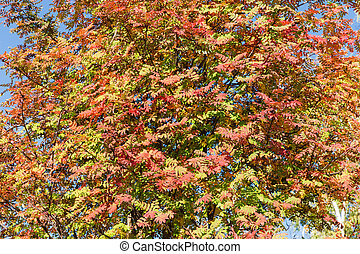 Background of rowan branches with autumn leaves