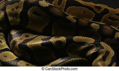 Background of royal python's snakeskin - Footage of royal...