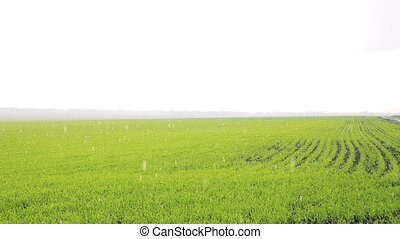 Background of shoots of winter wheat through bright rain