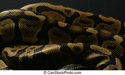 Background of snakeskin - Footage of royal ball python on...