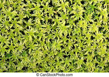 Background of Sphagnum moss - Background of green Sphagnum...