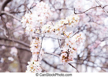 Background of spring blooming on a Sunny day. Beautiful nature scene with cherry blossom tree and solar flares. Spring flowers in a beautiful garden.