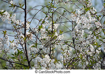 spring cherry tree in blossom