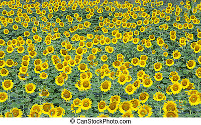 background of sunflower on a field
