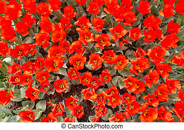 Background of super red tulips in a garden