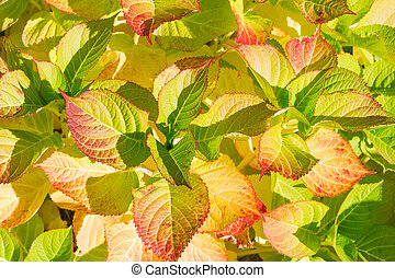 Background of the autumn hydrangea leaves