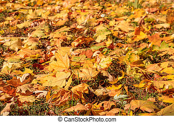 Background of the autumn maple leaves