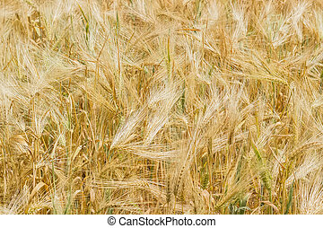 Background of the barley field