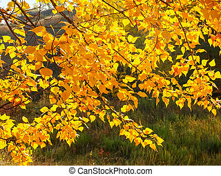 Background of the branches of poplar tree with autumn leaves