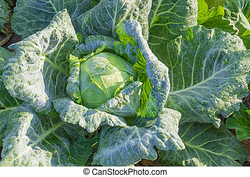 Background of the cabbage head with dew on a plantation
