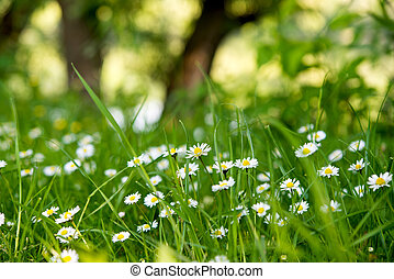 Background of the daisies