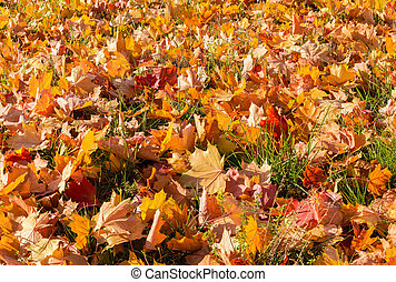 Background of the fallen maple leaves on a glade