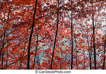 Background of the red oaks branches with autumn leaves