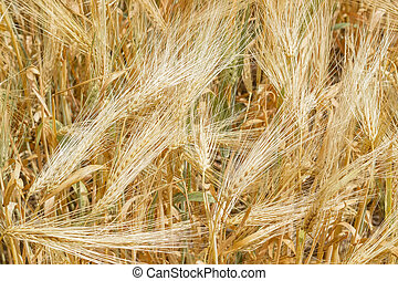 Background of the ripening barley field