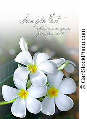 Background of the sweet smelling frangipani flower with space for text