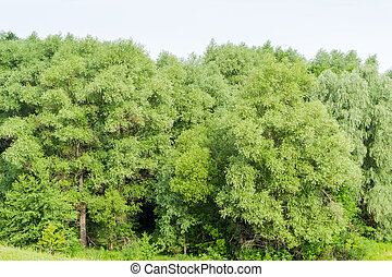 Background of the willow branches on the forest edge