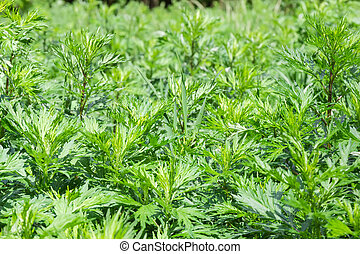 Background of the young common mugwort at selective focus
