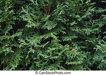 background of thuja branches