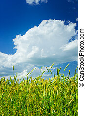 background of wheat and sky
