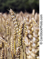 background of wheat