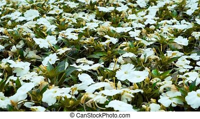 Background of white flowers and green leaves close-up.