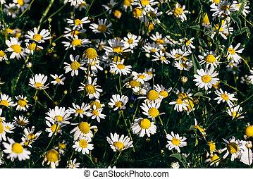 Background of wild chamomile flowers