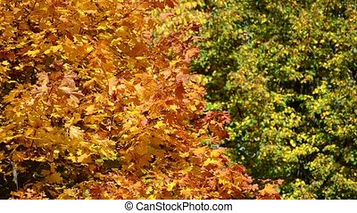 Background of yellow and green maple leaves in autumn