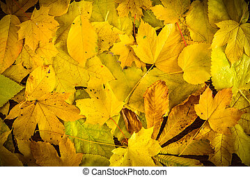 Background of yellow autumn leaves