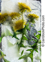 Background of yellow dandelion  flower  with green leaves frozen in ice