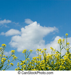 background of yellow flowers and blue sky