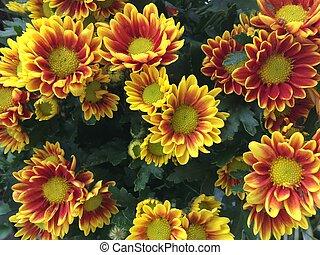 Background of yellow flowers chrysanthemums beautiful garden.