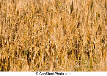 Background Of Yellow Golden Barley Ears In Summer Wheat ...