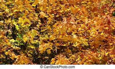Background of yellow maple leaves in autumn