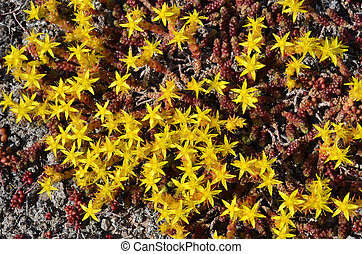 Background of yellow mossy stonecrop