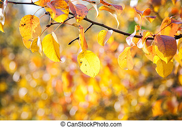 background of yellow pear leaf in autumn day