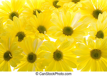 Chrysanthemum maximum single yellow shasta daisy flower stock background of yellow shasta daisy flowers mightylinksfo