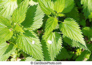 background on the nature of the nettle