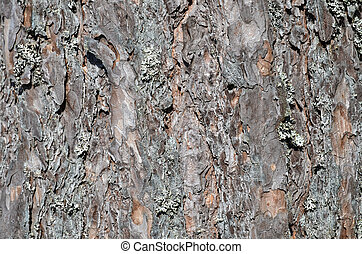 Background pine tree bark