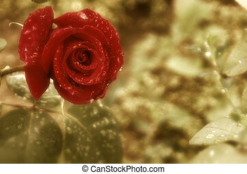 red rose  - background red rose with rain drops