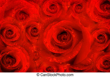 background rose flowers, red passion