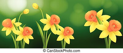 Background scene with daffodil flowers