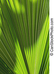 background texture of a palm tree leaf
