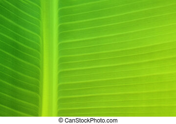Background texture of banana leaf